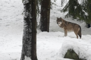Peter_van_der_Veen-Petersmoments- wolf -in landschap with snow